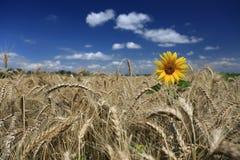 Campo di grano dorato con il girasole solo Fotografia Stock Libera da Diritti