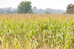 Campo di grano dorato con il raccolto ricco pronto a raccogliere in autunno Immagine Stock