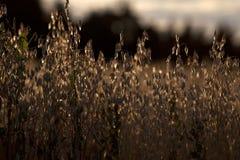 Campo di grano dorato nella lampadina di tramonto Immagine Stock