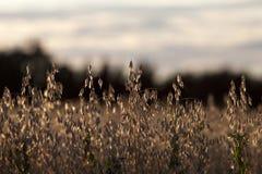Campo di grano dorato nella lampadina di tramonto Fotografia Stock Libera da Diritti