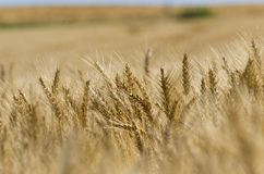Campo di grano dorato un giorno soleggiato fotografie stock libere da diritti