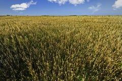 Campo di grano e del cielo con le belle nuvole Immagine Stock