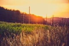 Campo di grano e del mais al tramonto Fotografia Stock