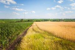 Campo di grano e del mais alla luce di primo mattino Fotografia Stock