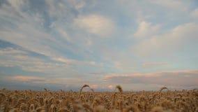 Campo di grano e di bello cielo con le nuvole rosa stock footage