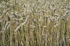 Campo di grano di estate immagine stock libera da diritti