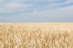 Campo di grano giallo maturo su un cielo blu Immagini Stock Libere da Diritti