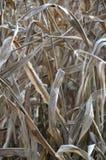Campo di grano indiano asciutto Fotografia Stock