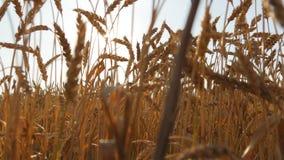 Campo di grano maturo al tramonto Grano dorato di estate ad alba Orecchie mature dorate di grano contro il cielo organico stock footage
