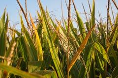 Campo di grano di Midwest Fotografia Stock