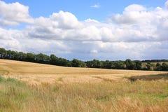 Campo di grano nel Jutland, Danimarca Fotografia Stock Libera da Diritti