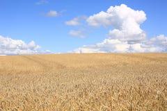 Campo di grano nel Jutland, Danimarca Fotografia Stock