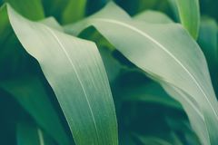 Campo di grano nell'azienda agricola fotografia stock