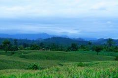Campo di grano nella stagione delle pioggie, sul cielo bianco Fotografia Stock