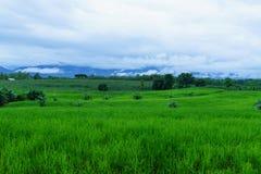 Campo di grano nella stagione delle pioggie, sul cielo bianco Fotografie Stock Libere da Diritti