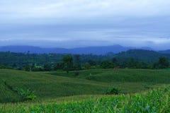 Campo di grano nella stagione delle pioggie, sul cielo bianco Immagini Stock