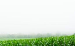 Campo di grano nella stagione delle pioggie, sul cielo bianco Immagine Stock
