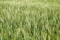 Campo di grano non maturo Fotografia Stock