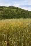 Campo di grano non maturo Immagini Stock