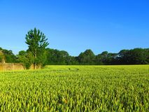 Campo di grano non maturo verde Fotografia Stock