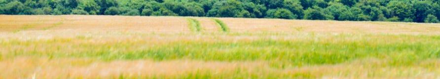 Campo di grano ondeggiante fotografia stock