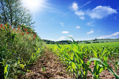 Campo di grano, piante del papavero al campo Fotografie Stock