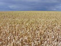 Campo di grano prima del cielo scuro Fotografia Stock