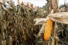 Campo di grano prima del raccolto Immagine Stock