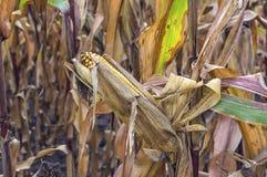 Campo di grano prima del raccolto Immagini Stock