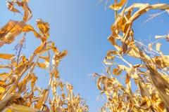 Campo di grano pronto del raccolto, angolo basso Immagini Stock