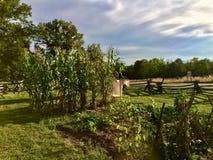 Campo di grano proteggente del corvo di spavento Immagini Stock