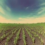 Campo di grano - retro stile d'annata Immagini Stock