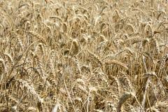 Campo di grano riped Immagini Stock