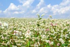 Campo di grano saraceno Fotografie Stock Libere da Diritti
