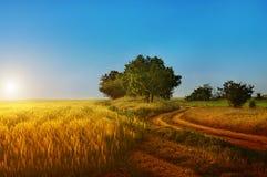Campo di grano, segale, Fotografia Stock