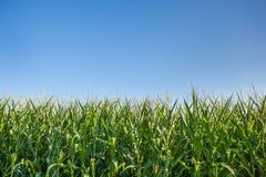 Campo di grano sotto cielo blu Fotografie Stock Libere da Diritti