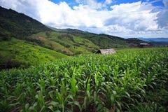 Campo di grano su Doi Inthanon, più alta montagna in Tailandia Immagini Stock Libere da Diritti