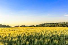 Campo di grano su un'azienda agricola di Wisconsin Fotografia Stock