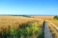 Campo di grano sui precedenti del cielo blu Fotografia Stock Libera da Diritti