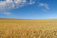 Campo di grano sui precedenti del cielo blu Immagini Stock Libere da Diritti