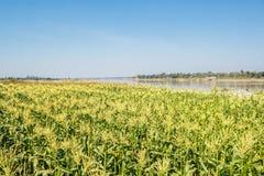 Campo di grano sul cielo Immagine Stock Libera da Diritti