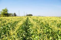 Campo di grano sul cielo Immagini Stock