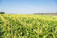 Campo di grano sul cielo Fotografia Stock