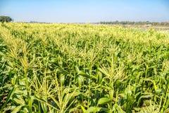 Campo di grano sul cielo Fotografia Stock Libera da Diritti