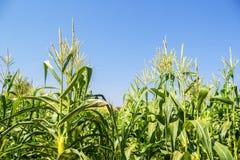 Campo di grano sul cielo Immagine Stock