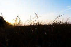 Campo di grano sul tramonto Immagine Stock