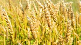 Campo di grano sul vento archivi video