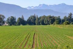 Campo di grano sulla costa ovest del ` s del Canada Fotografia Stock Libera da Diritti