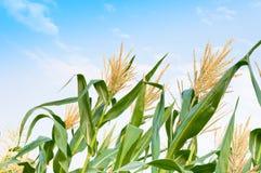 Campo di grano in un chiaro giorno, albero del cereale con il cielo nuvoloso blu Immagine Stock
