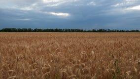 Campo di grano un chiaro giorno di estate, prima della raccolta Immagine Stock